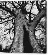 Old Tree Acrylic Print