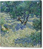 Olive Orchard Acrylic Print