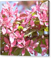Pink Cherry Flowers Acrylic Print