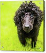 Poodle Puppy Acrylic Print