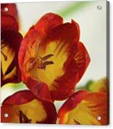 Red Freesia Acrylic Print