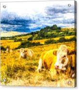 Resting Cows Art Acrylic Print