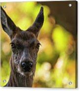 Stunning Hind Doe Red Deer Cervus Elaphus In Dappled Sunlight Fo Acrylic Print