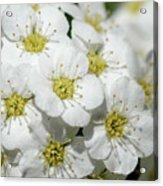 White Spiraea Flower Acrylic Print