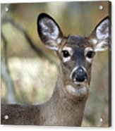 White Tailed Deer Smithtown New York Acrylic Print