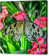 5050- Butterfly Acrylic Print