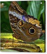 5113- Butterfly Acrylic Print