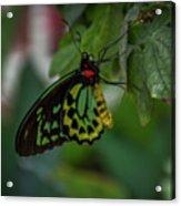 5156- Butterfly Acrylic Print