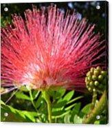Australia - Caliandra Red Flower Acrylic Print