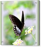 5276-001- Butterfly - Swallowtail Acrylic Print
