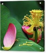 Blossoming Lotus Flower Closeup Acrylic Print
