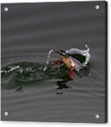 Red Breasted Merganser Fishing Acrylic Print