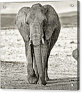 African Elephant In The Masai Mara Acrylic Print
