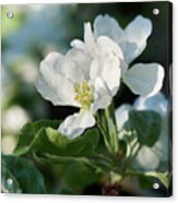 Apple Flowers Acrylic Print