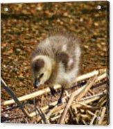 Barnacle Goose Acrylic Print