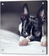 Boston Terrier Puppy Acrylic Print
