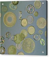 Close View Of Diatoms Acrylic Print by Darlyne A. Murawski