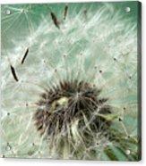Dandelion Seeds On Flower Head Acrylic Print