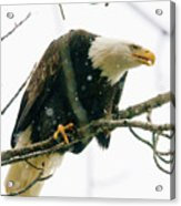 Eagle In A Tree Acrylic Print