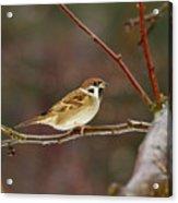 Eurasian Tree Sparrow Acrylic Print