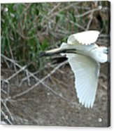 Great Egret Building A Nest Acrylic Print