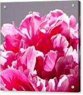 Peony Flower Acrylic Print