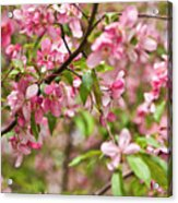 Pink Cherry Tree Acrylic Print