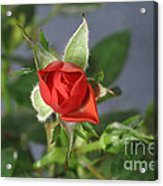 Red Rose Blooming Acrylic Print