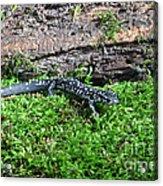 Slimy Salamander Acrylic Print