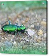 6-spotted Green Tiger Beetle Acrylic Print