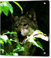 The Wild Wolve Group B Acrylic Print