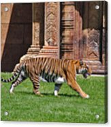 61- Sumatran Tiger Acrylic Print
