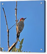 62- Red-bellied Woodpecker  Acrylic Print