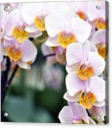 Orchids Acrylic Print