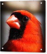 6751-010 Cardinal - Miss You Acrylic Print
