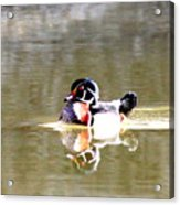 6966 - Wood Duck Acrylic Print