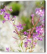 Alpine Wildflower Acrylic Print