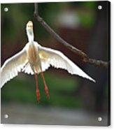 Cattle Egret In Flight Portrait Acrylic Print