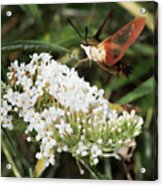 Clearwing Hummingbird Moth Acrylic Print