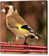 European Goldfinch Bird Close Up   Acrylic Print