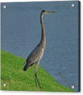 7- Great Blue Heron Acrylic Print