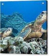 Hawaii, Green Sea Turtle Acrylic Print
