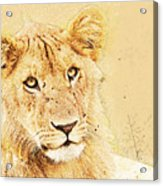 lioness Masai Mara, Kenya Acrylic Print
