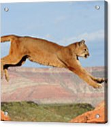 Mountain Lion Acrylic Print