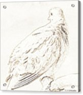 Mourning Dove, Animal Portrait Acrylic Print