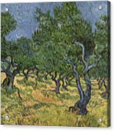 Olive Orchard Acrylic Print