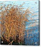 Reed Acrylic Print