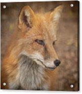Russian Red Fox Acrylic Print
