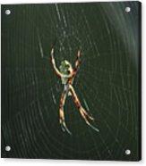 Spider On A Web Acrylic Print