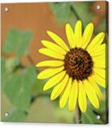 Sunflowers Acrylic Print